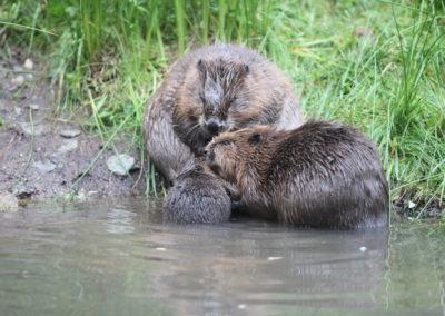 Soužití bobrů